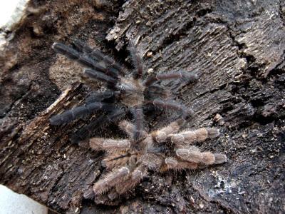 Lampropelma nigerrimum